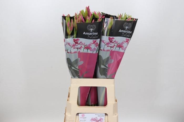 <h4>Amarine Belladiva Rosa</h4>