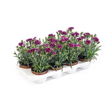 <h4>Dianthus Caryophyllus 'finesse'</h4>