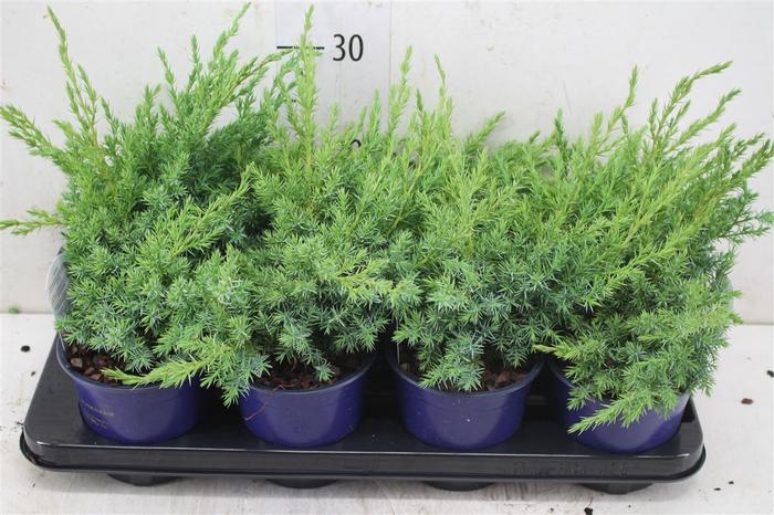 <h4>Juniperus Squamata 'blue Swede'</h4>