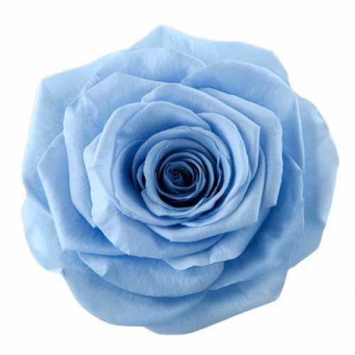 Rose Monalisa Sky Blue