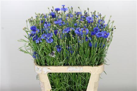 <h4>Centaurea Cornflower Blue</h4>