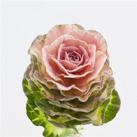 <h4>Brassica Powder Pink</h4>