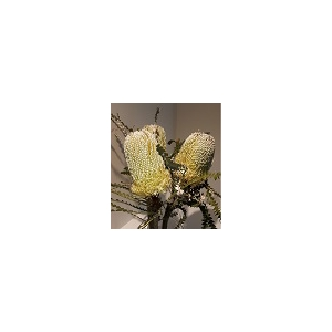 Banksia Natural