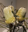 BANKSIA HOOKERIANA Natural