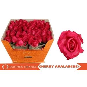 R GR CHERRY AVALANC+