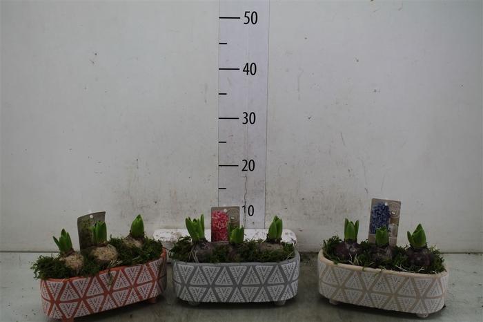 <h4>Hyacinth Mix 3917 Badu 3pp Mos</h4>