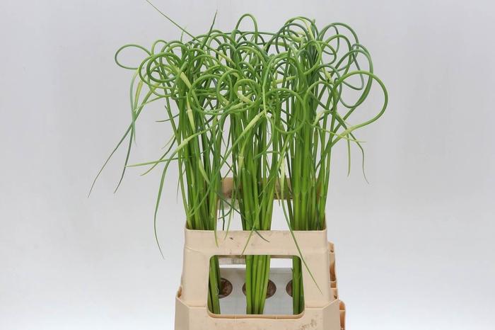 <h4>Allium Sat Ophiosco</h4>