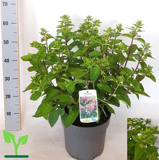 <h4>Hydrangea Paniculata</h4>