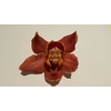 Cymbidium 5/7 Brown Bl pst