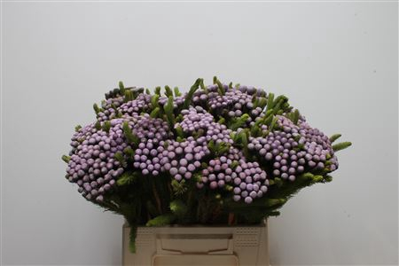 <h4>Kaaps Brunia Albiflora M Orchid</h4>