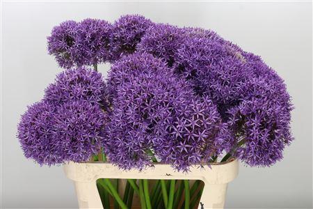 <h4>Allium Big Pale Purple</h4>