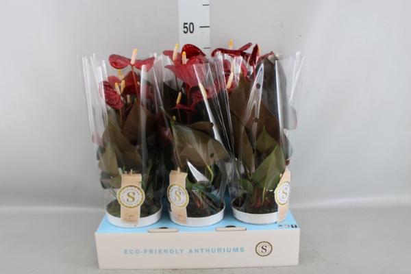 <h4>Anthurium andr. 'Coral Champion'</h4>