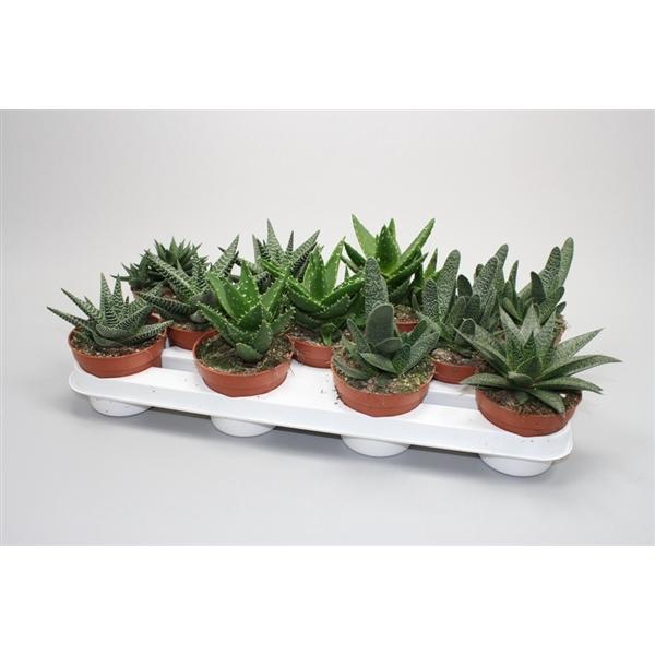 <h4>Aloe gemengd 0354</h4>