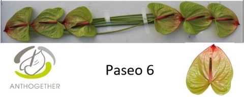 <h4>Anthurium andr. 'Paseo'</h4>