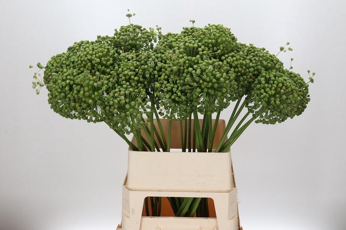 <h4>Allium Seed</h4>