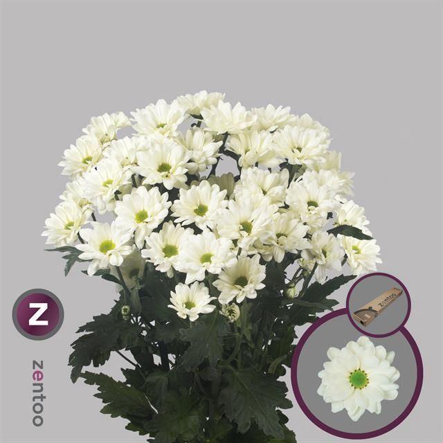<h4>Chrysanthemum TR 'Prosecco'</h4>