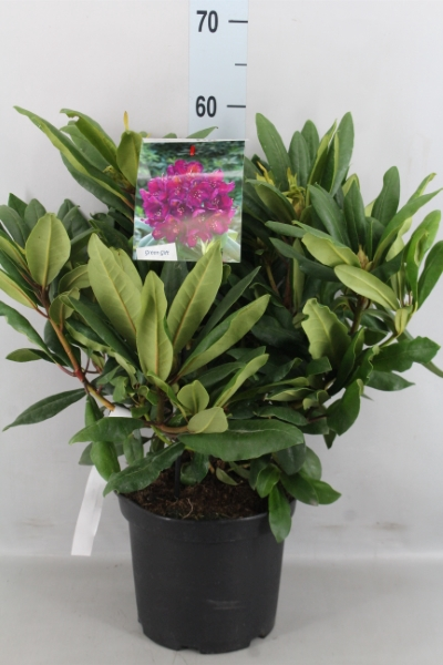 <h4>Rhododendron CA   ...</h4>