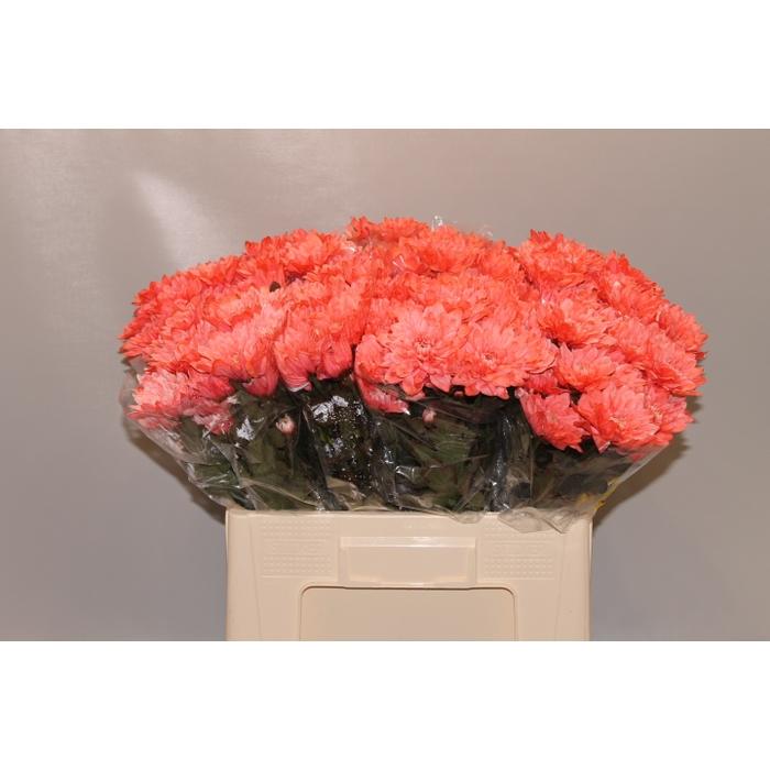 <h4>Chrys.tros Baltica wit gekleurd Rose</h4>