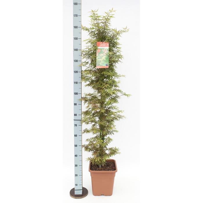 <h4>Acer palmatum 'Jerre Schwartz'</h4>