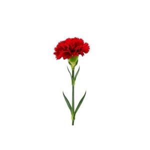 Clavel Rojo MURCIA