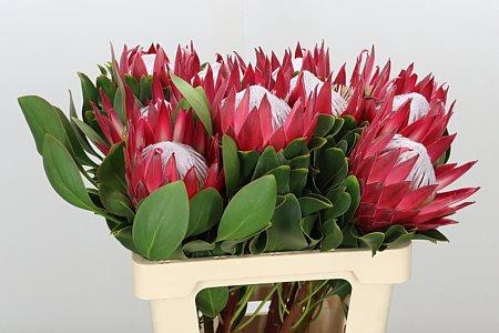 <h4>Protea Cynaroides Madiba</h4>