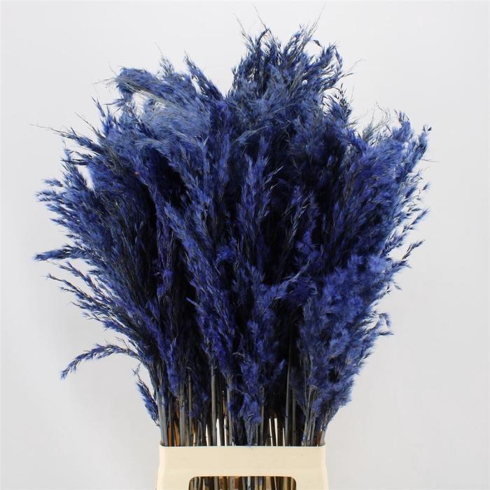 <h4>Pampas Blue</h4>