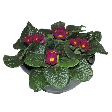 <h4>Primula Acaulis Paars Schaal</h4>