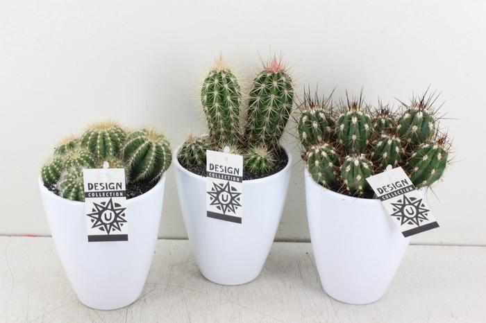 <h4>arr. UB - Ker. pot chic wit cactus</h4>