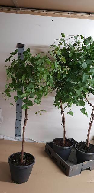 <h4>Eucalyptus Dalrympleana</h4>