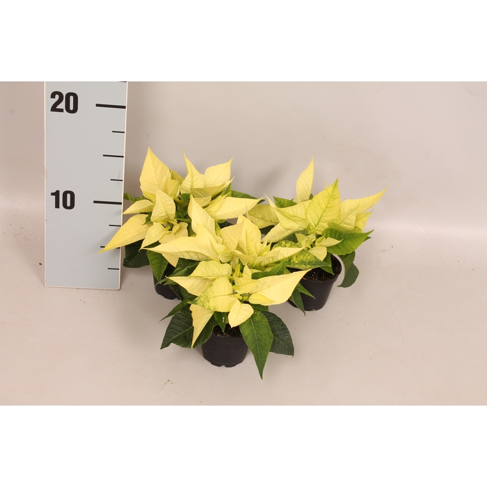 <h4>Poinsettia 6  cm Christmas Beaty Queen 2/4 koppen</h4>