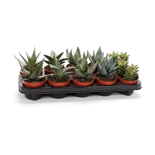 <h4>Aloe mix 10,5 cm</h4>