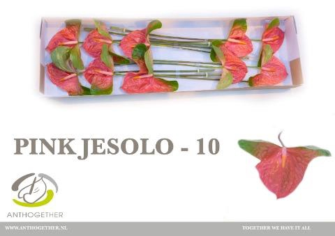 <h4>Anthurium (Andreanum Grp) 'Pink Jesolo'</h4>