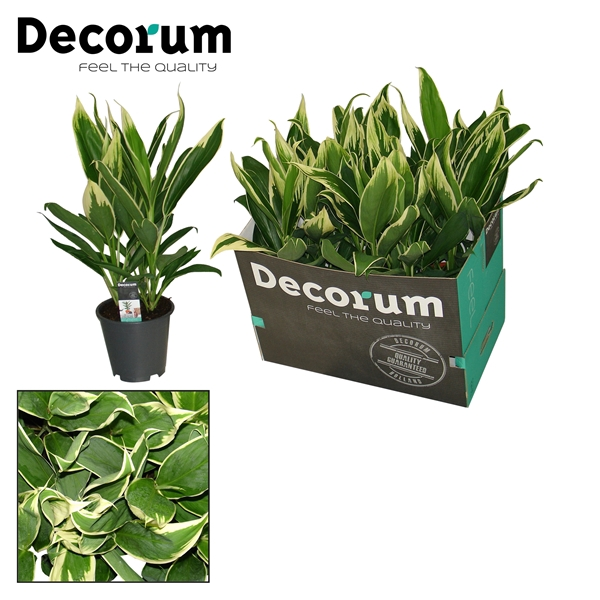 <h4>Cordyline new Conga</h4>