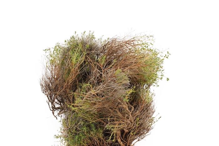 <h4>Nido ( Euphorbia Spinoza)</h4>