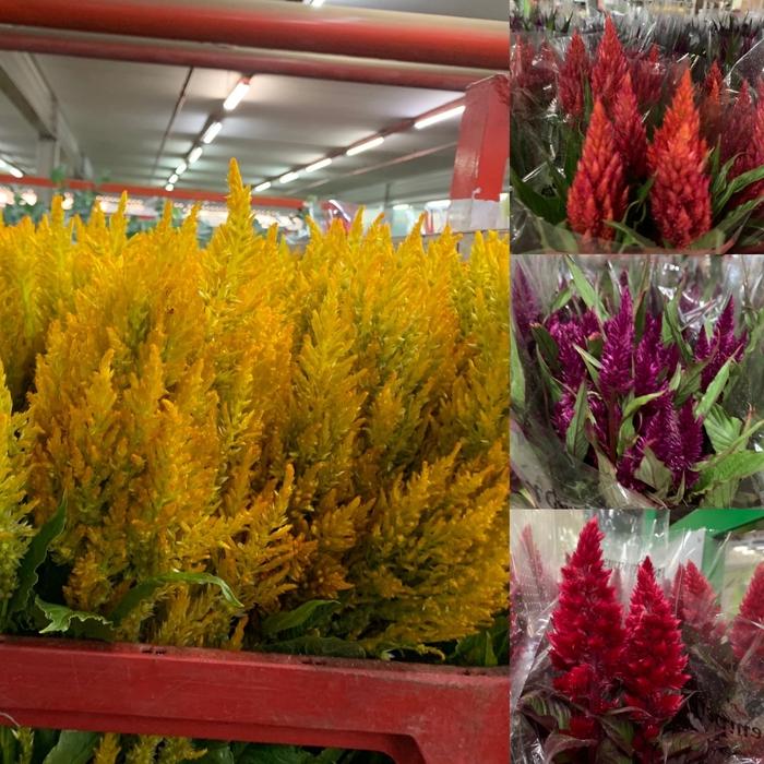 Celosia Plum Mix