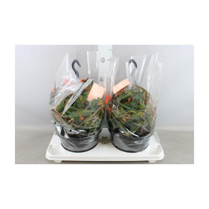 <h4>Begonia tuber. 'Bonfire'</h4>