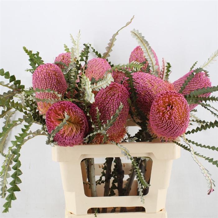 <h4>Banksia Hookeriana Dusty Pink</h4>