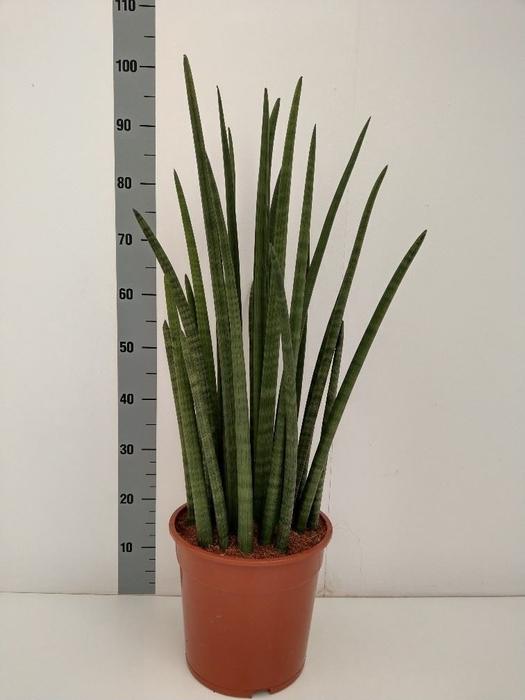 <h4>Sansevieria cylindr.  ...</h4>