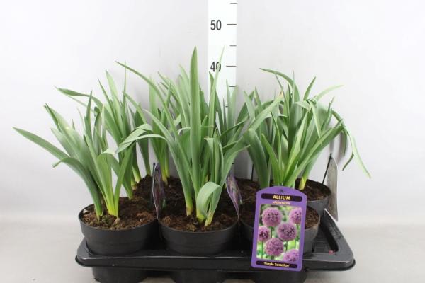 <h4>Allium aflatunense 'Purple Sensat'</h4>