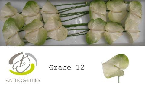 <h4>Anthurium (Andreanum Grp) 'Grace'</h4>