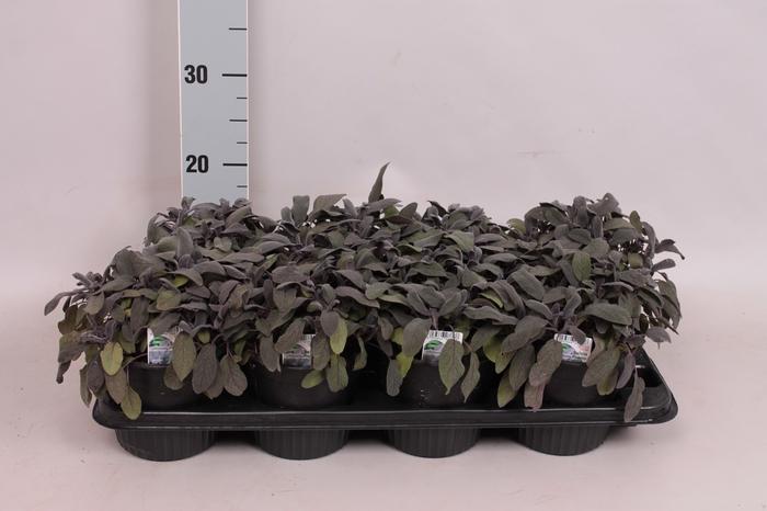 <h4>Kruiden I Salvia Purpurea   (salie)</h4>