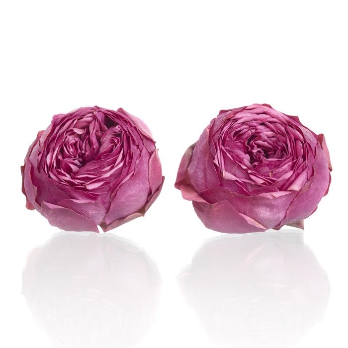 Garden Rose Pink Piano 4,5-5cm