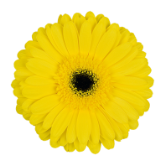 <h4>Gerbera brilliance</h4>