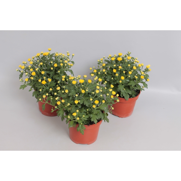 <h4>Potchrysant Yellow</h4>