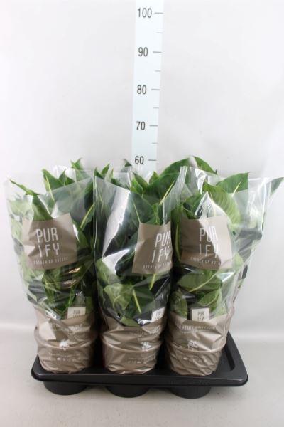 <h4>Dieffenbachia  'Green Magic'</h4>