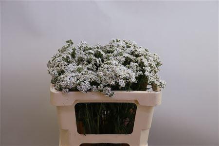 <h4>Achillea millef. 'White Beauty'</h4>