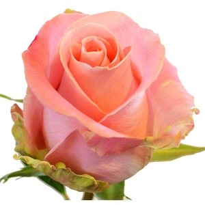 Rosa gr Hermosa (Nevado)