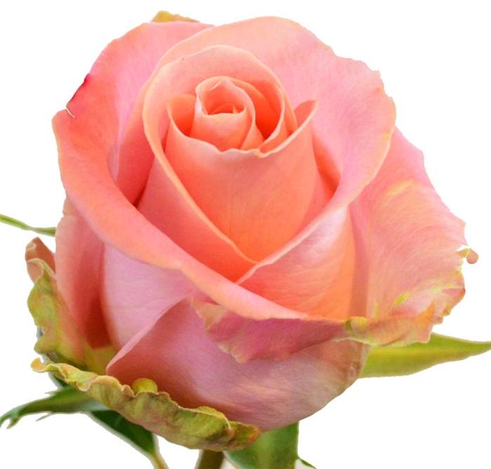 <h4>Rosa gr Hermosa (Nevado)</h4>