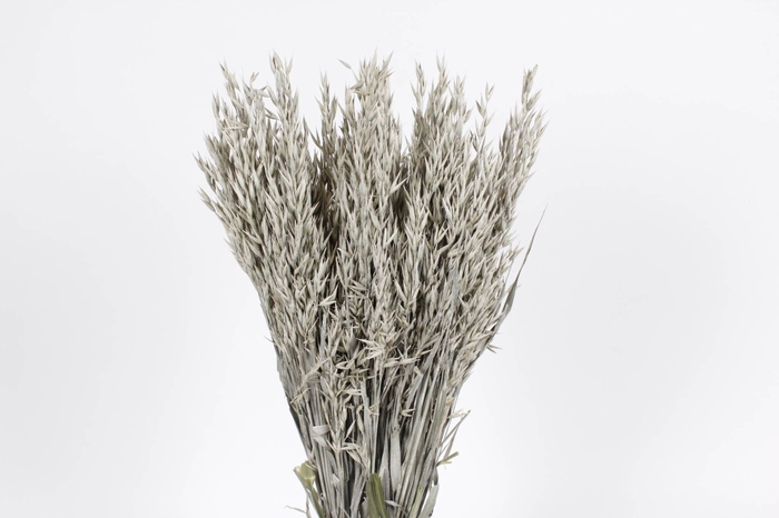 <h4>Avena per bunch frosted white</h4>