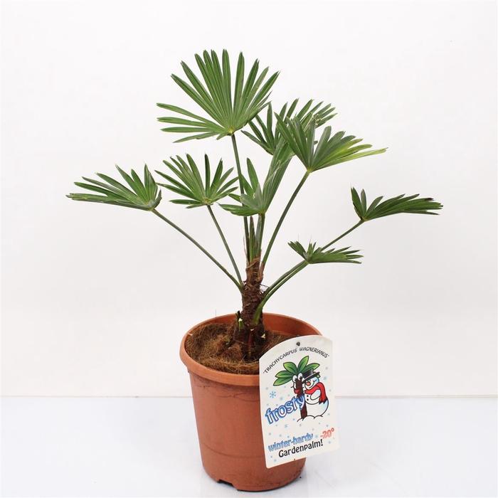 <h4>Trachycarpus Wagnerianus</h4>